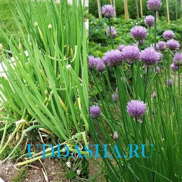 Посадка лука батуна – как наслаждаться зеленым урожаем круглый год
