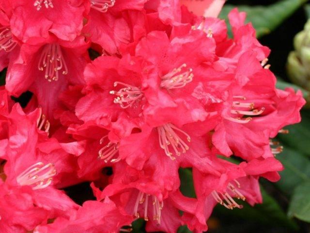 Рододендрон якушиманский блюретта посадка и уход