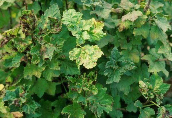 У смородины бледные листья чем подкормить — поиск причины и советы по удобрению смородины (видео + 130 фото)