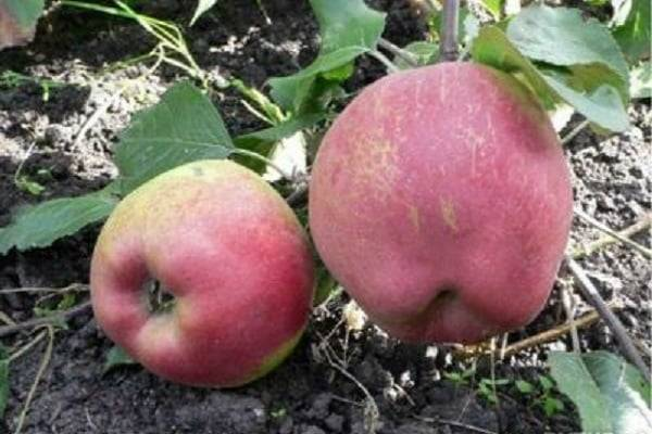 Сортовая колоновидная яблоня триумф