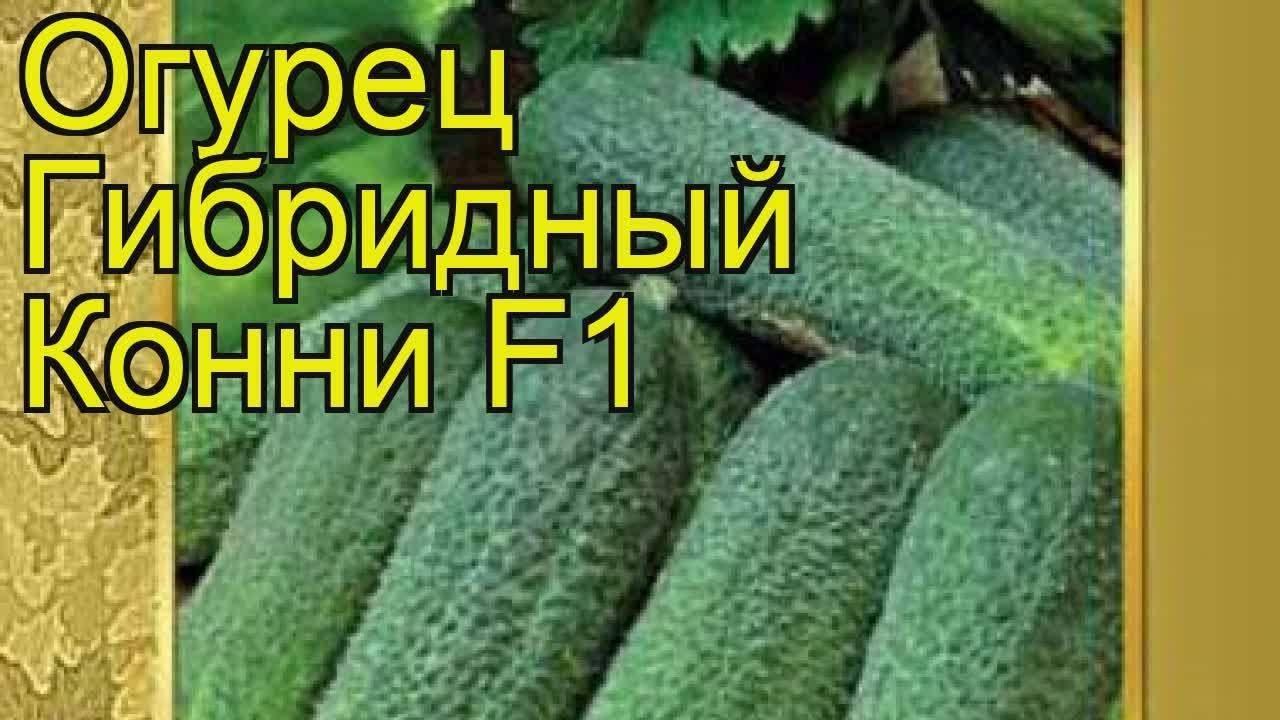 Огурцы конни f1: выращиваем лучший из гибридов