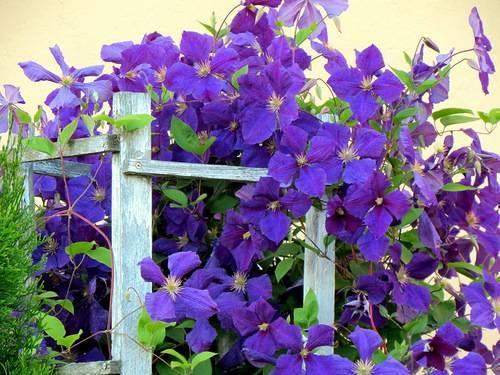 Клематисы в ландшафтном дизайне (91 фото): цветы на клумбе в саду и на заборе, оформление небольшого дачного участка