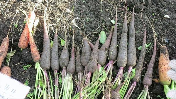 Популярные сорта и гибриды фиолетовой моркови