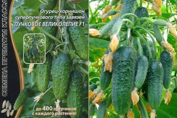 Гибрид огурцов «пучковое великолепие f1» для выращивания в теплице: фото, видео, описание, посадка, характеристика, урожайность, отзывы