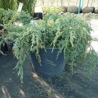 Можжевельник чешуйчатый холгер (juniperus squamata holger)