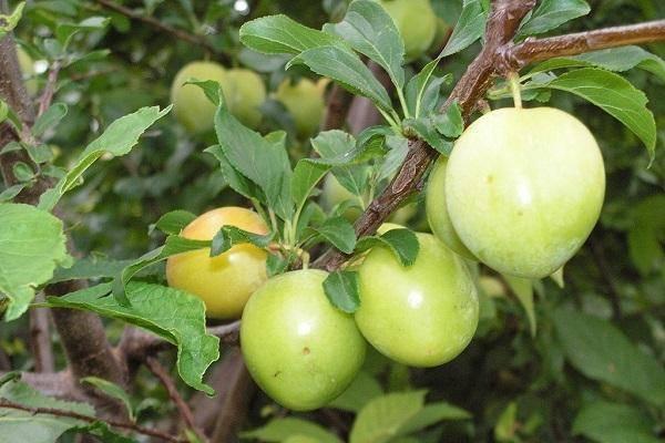 Алыча солнышко — описание сорта, фото и отзывы садоводов