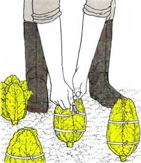 Зелень зимой или как вырастить пекинскую капусту в домашних условиях