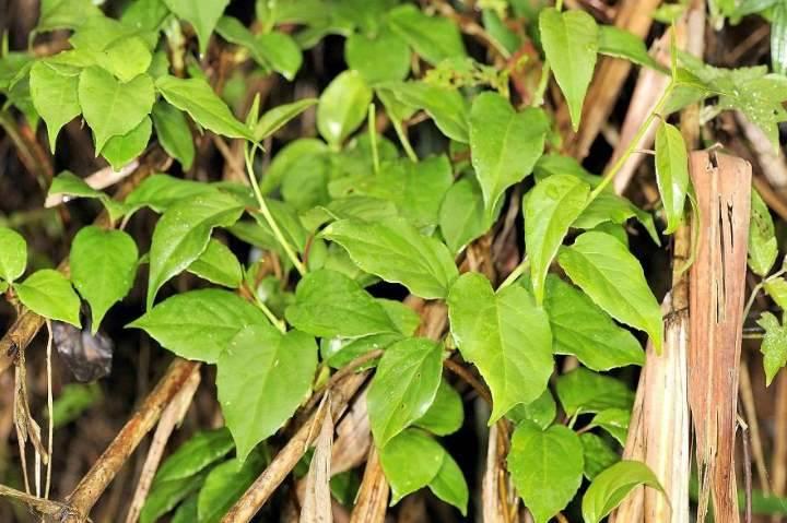 Кустарник чубушник: описание с фото и посадка в открытый грунт, уход и размножение, когда обрезать