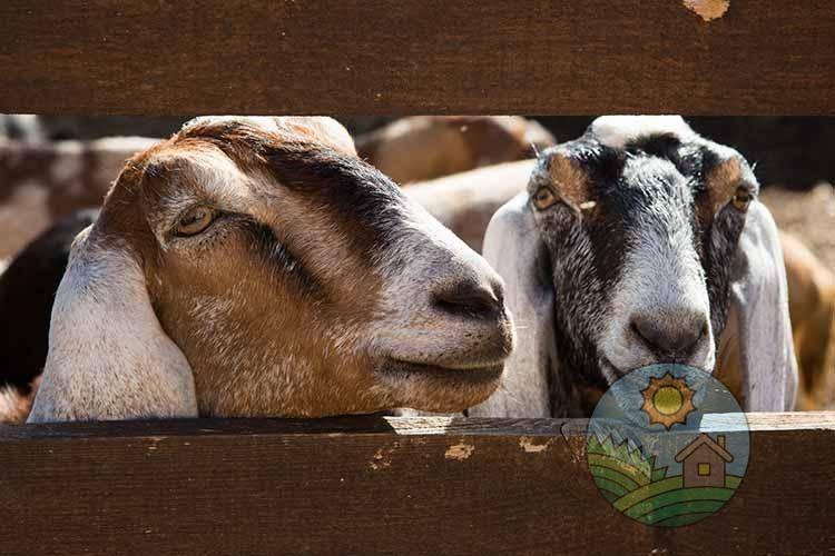 Породы и содержание карликовых коз