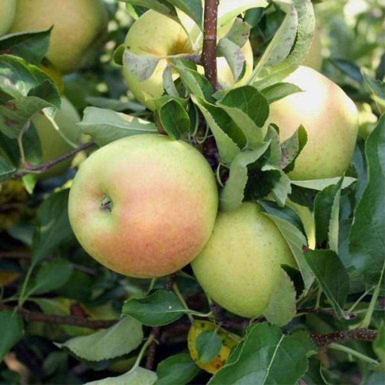 Яблоня елена: описание сорта, фото, отзывы садоводов, морозостойкость