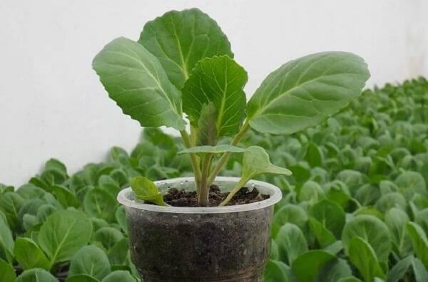 Рассада капусты, выращивание в домашних условиях — секреты и рекомендации