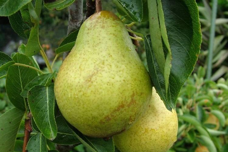 Сорта груши вильямс и их особенности