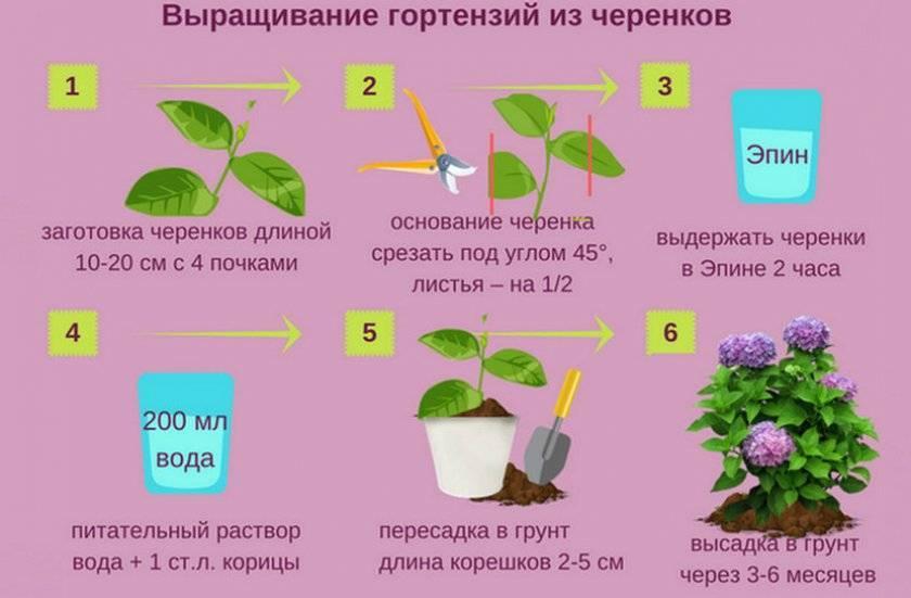 Как вырастить гортензию комнатную: лучшие способы размножения растения