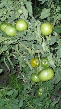 Сорт томата — земляк: его характеристика