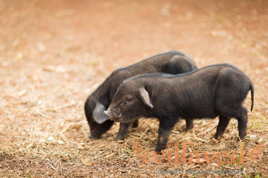 Описание свиней породы: кармалы