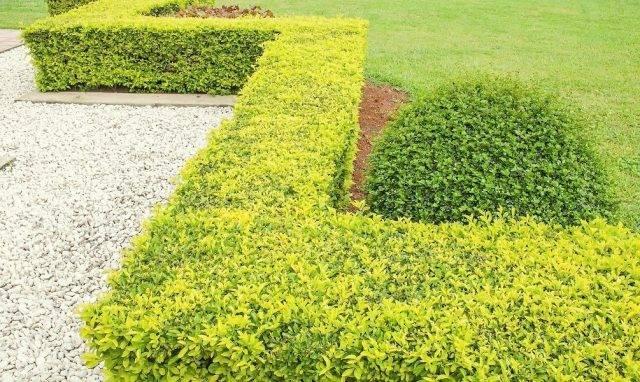 Кустарник бирючина для живой изгороди