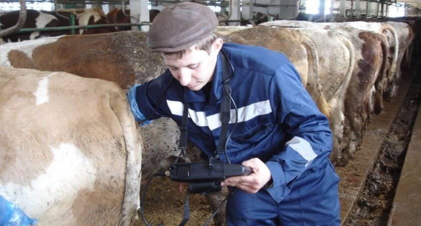 Правила диагностики стельности коровы, особенности кормления и ухода