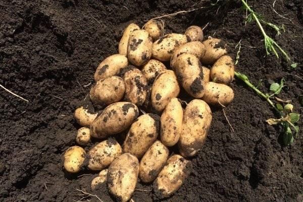 Картофель импала: описание и особенности выращивания сорта
