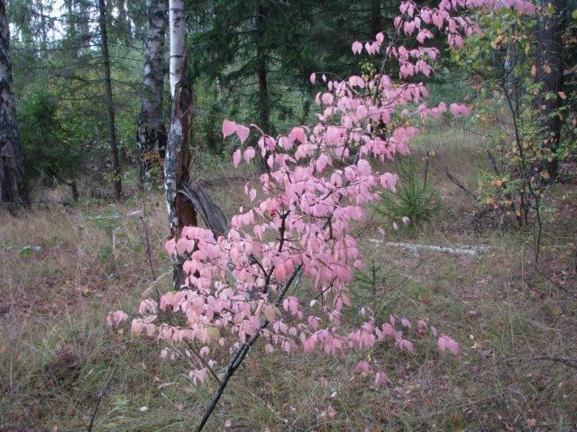 Бересклет крылатый: описание и уход за растением