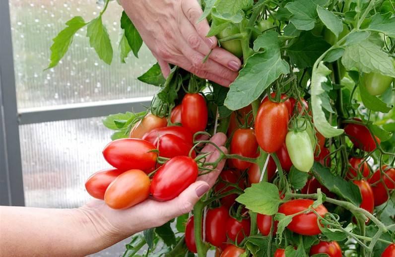 Томат благовест f1: описание и характеристика, отзывы и фото огородников