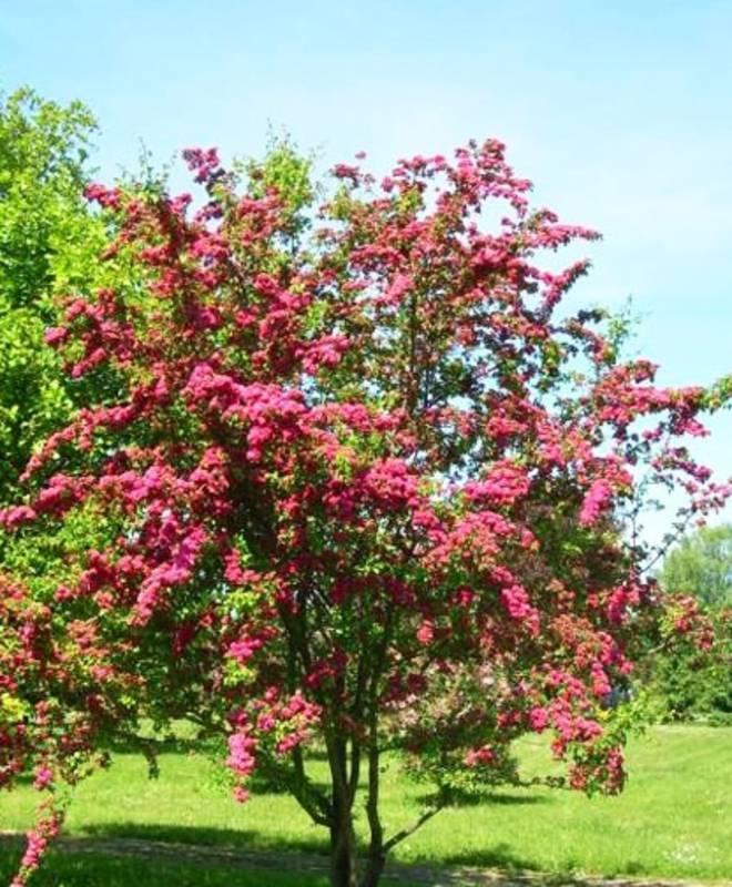 Боярышник пауль скарлет (paul s scarlet): описание, фото, отзывы