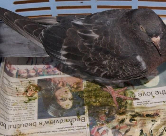 Самые распространенные болезни голубей