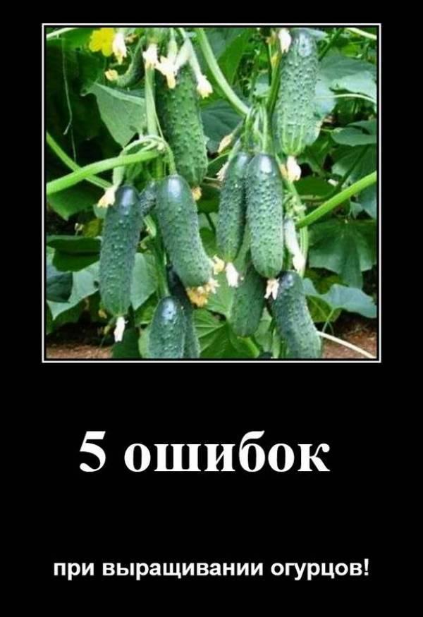Огурдыня лартон: выращивание и уход, отзывы, фото