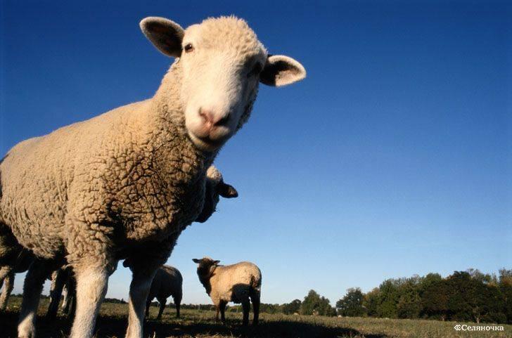 Биологические и хозяйственные особенности крупного рогатого скота: разъясняем основательно