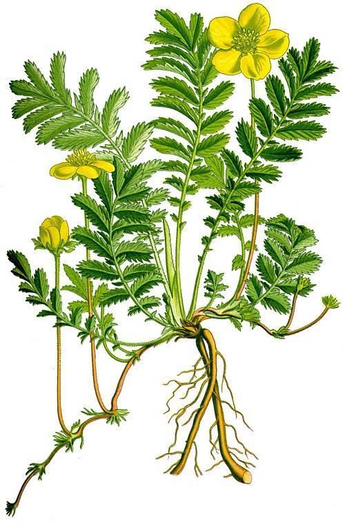Лапчатка гусиная: фото, описание, лечебные свойства и применение травы в медицине