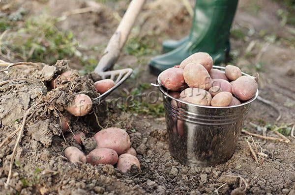 Цветной картофель – ценность овоща и лучшие сорта