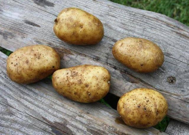Сорт картофеля зекура: подробное описание, условия выращивания и фото