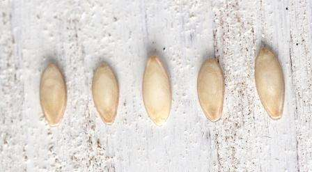 Предпосевная обработка семян огурцов для посадки на рассаду