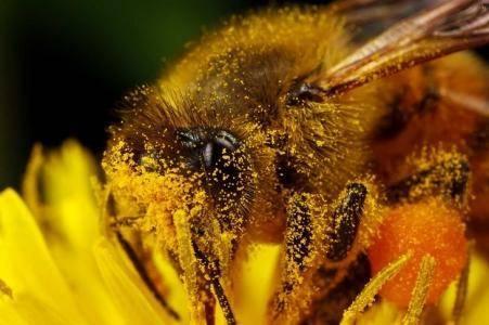 Пчелиная пыльца: польза и вред для здоровья