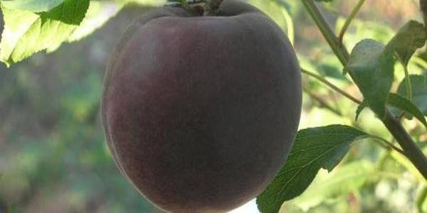 Черный абрикос: чудо-фрукт