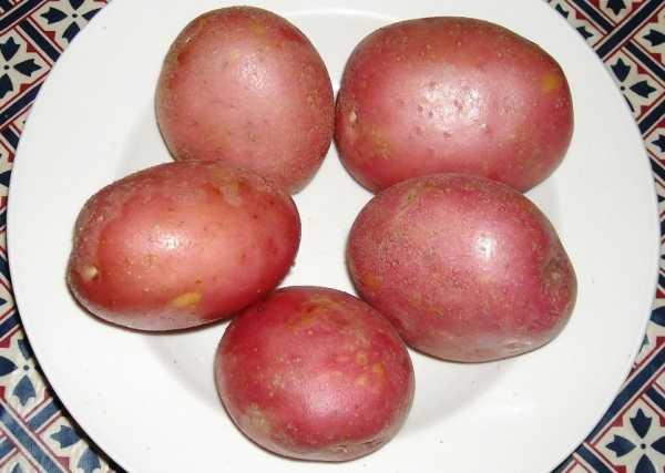 Картофель артемис: описание сорта, фото, характеристика
