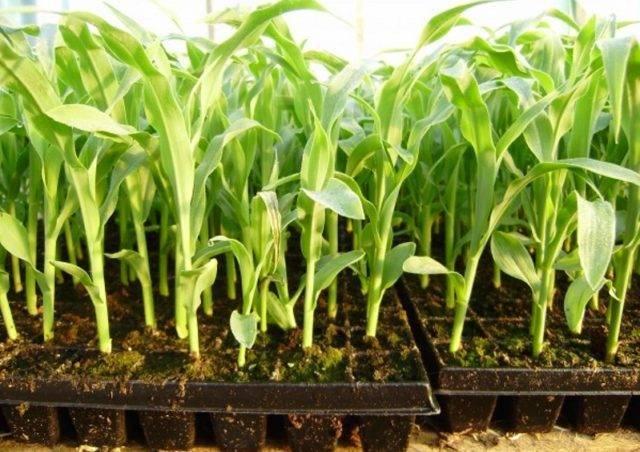 Кукуруза: особенности выращивания в открытом грунте