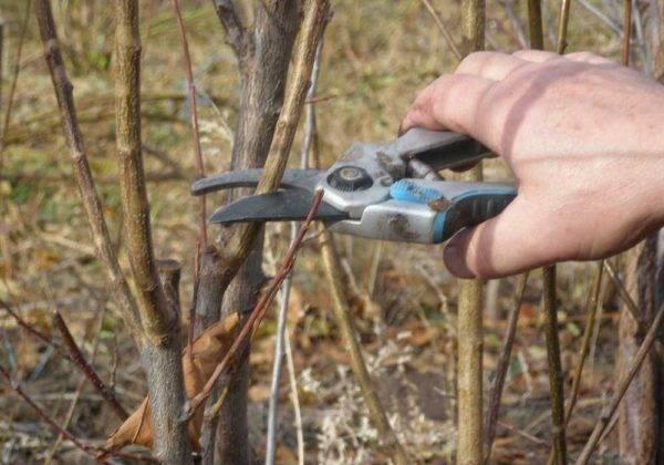 Как правильно обрезать осенью шелковицу