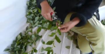 Как укоренить бегонию черенком? размножение бегонии черенками в домашних условиях