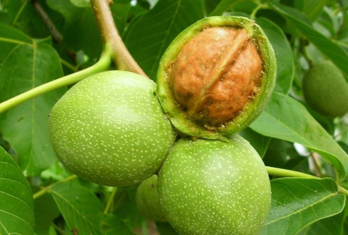 8 причин, почему не плодоносит грецкий орех. 6 способов, как добиться урожая