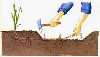 Как навсегда избавиться от пырея на огороде: народные способы