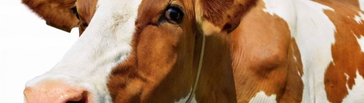 Как и чем лечить понос у коровы