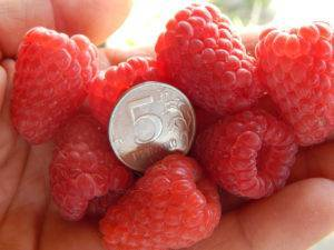 Особенности малины сорта примара