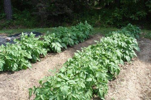 Картофель сорта гулливер: описание, особенности выращивания, отзывы