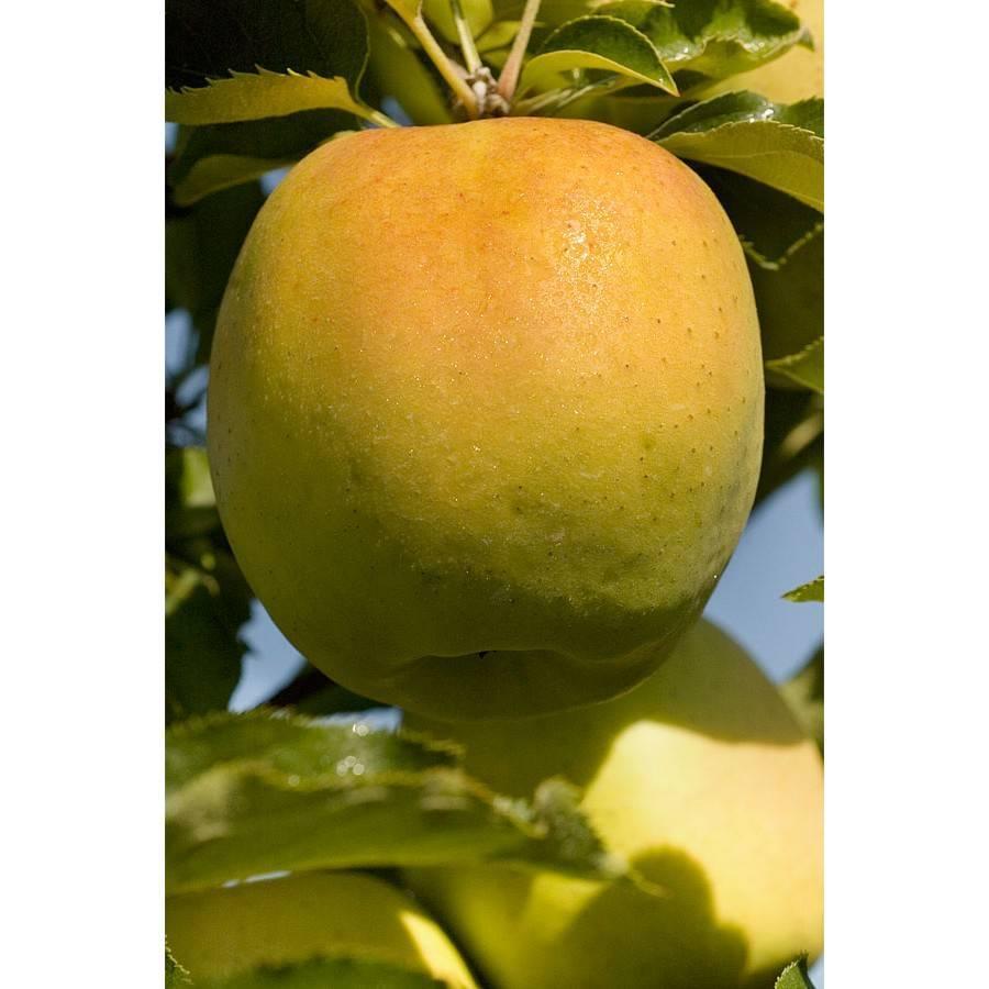 Яблоня мантет: описание сорта, фото, отзывы садоводов