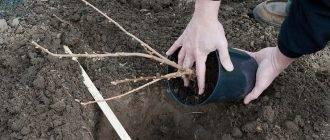 Правила посадки и пересадки куста красной смородины: нюансы в разное время года
