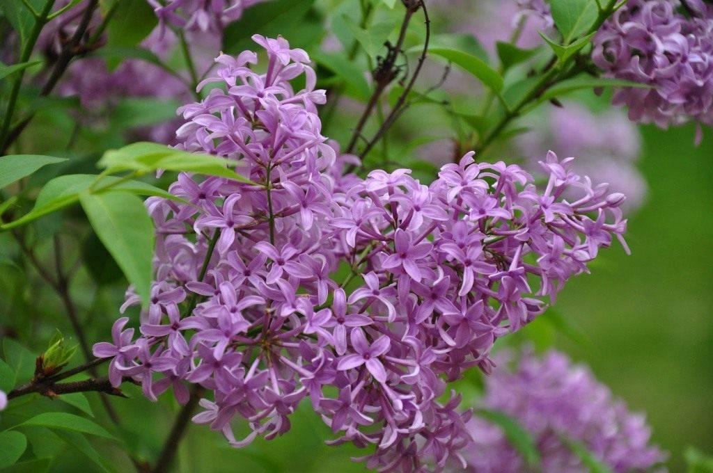 Как вырастить персидскую сирень и правильно ухаживать за ней - садовые цветы, растения и кустарники - 2020