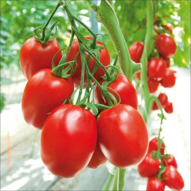 Сорт томата «красным красно f1»: описание, характеристика, посев на рассаду, подкормка, урожайность, фото, видео и самые распространенные болезни томатов