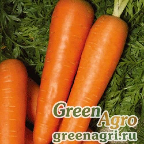 Морковь берликум роял: фото, отзывы, урожайность, посадка и уход