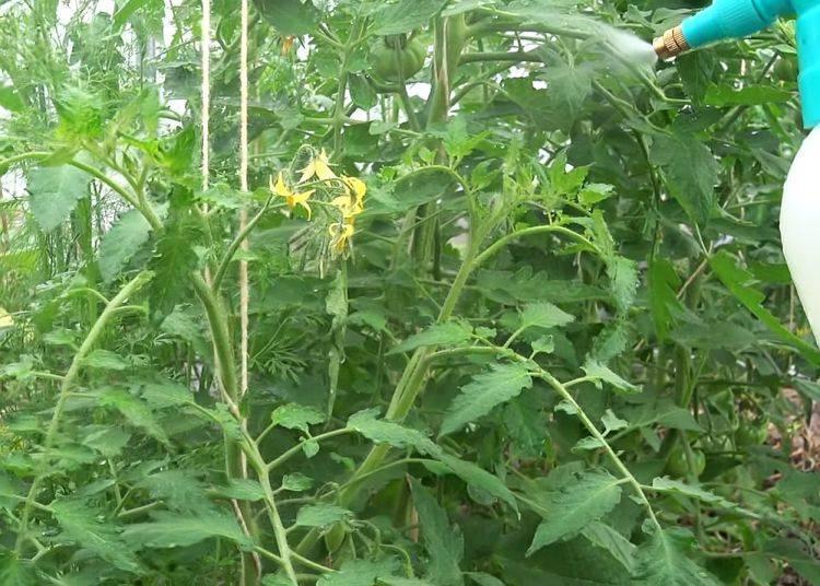 Чем опрыскать помидоры для завязи: лучшие средства, основные правила обработки
