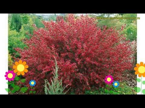 Раннее растение ракитник, посадка и уход в подмосковье